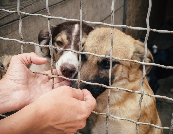Two hands reach inside a shelter cage toward two puppies.